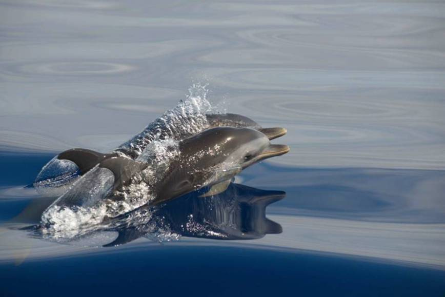 bahamas, abaco, spotted dolphin, rolling harbour