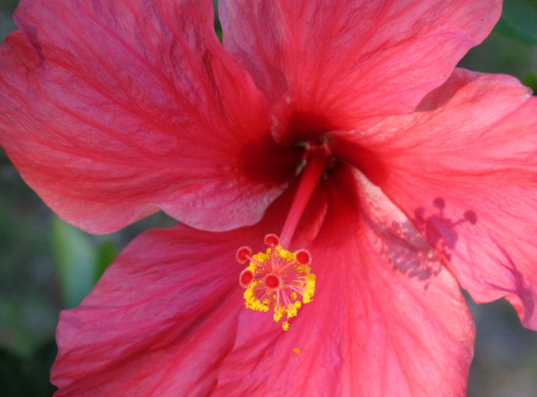 Hibiscus flower - Green Turtle Cay, Abaco, Bahamas