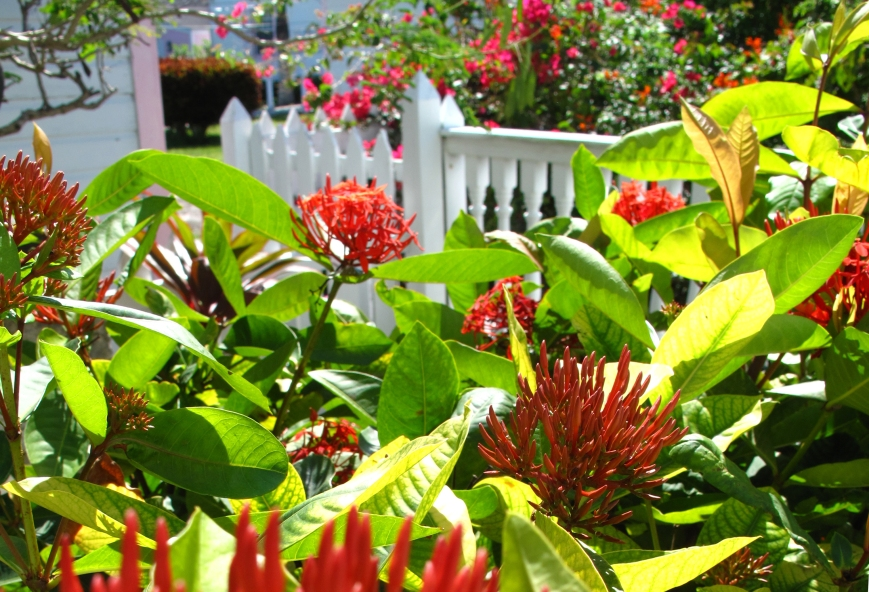 Ixora Flowers, Green Turtle Cay, Bahamas