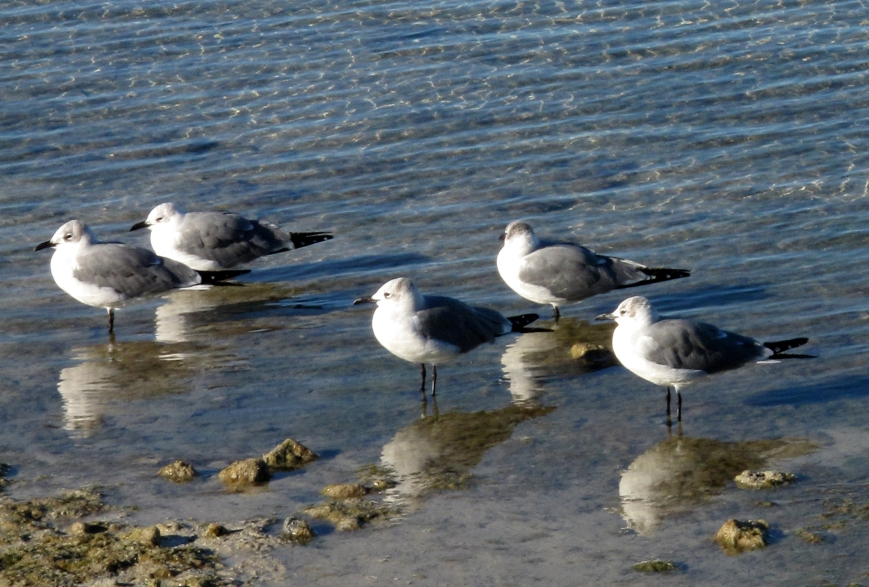 Sunning Seagulls - Green Turtle Cay, Abaco, Bahamas