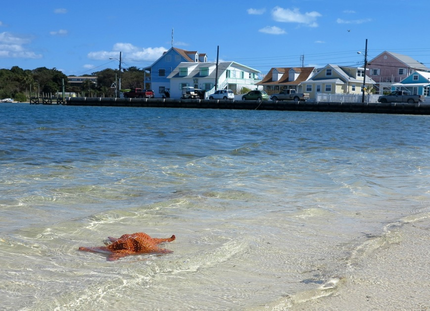 Starfish in Settlement Creek, Green Turtle Cay, Abaco, Bahamas