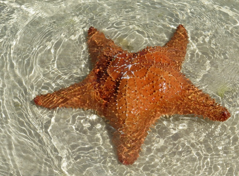 Starfish - Green Turtle Cay, Bahamas