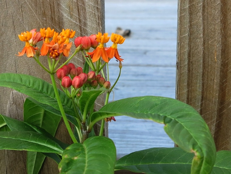 Tropical Flowers, Green Turtle Cay, Bahamas.