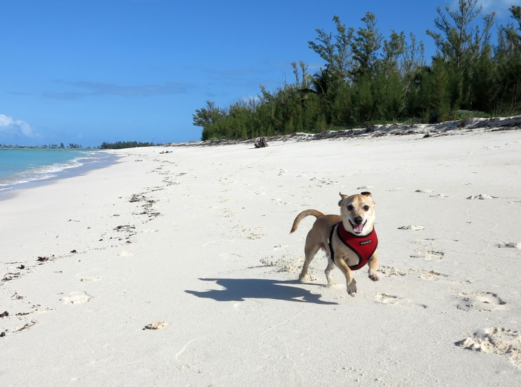 Happy dog at Gillam Bay, Green Turtle Cay, Abaco, Bahamas
