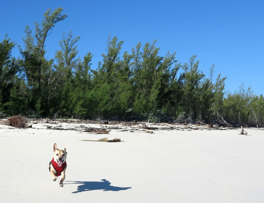 Happy dog on the beach - Green Turtle Cay, Bahamas