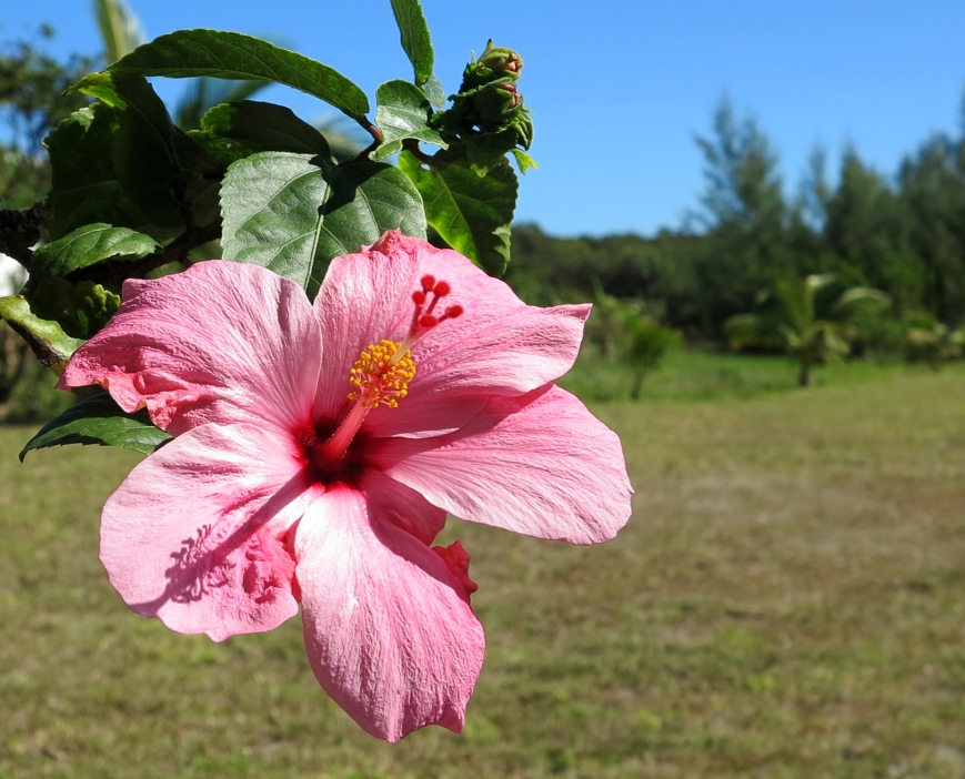 Hibiscus, Green Turtle Cay, Bahamas