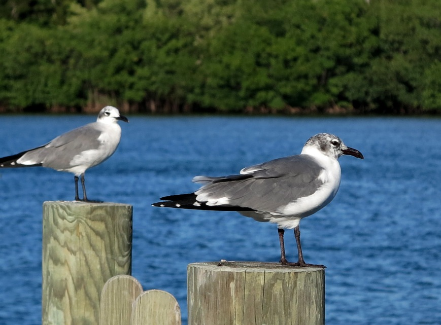 Seagulls in Green Turtle Cay, Abaco, Bahamas