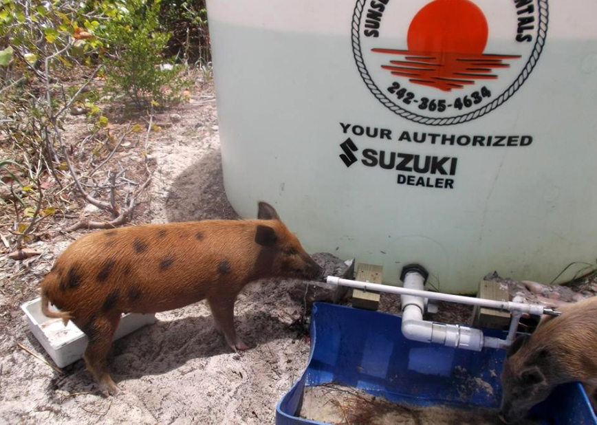 A New Fresh Water Source for No Name Cay Pigs