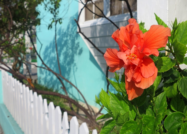Hibiscus at the Golden Reef Apartments - Green Turtle Cay, Abaco, Bahamas.