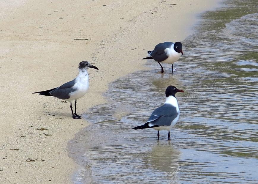 Seagulls on the South Beach, Green Turtle Cay, Bahamas