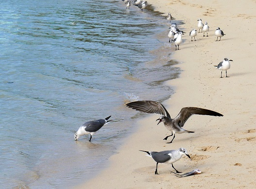 Sea Gulls - Green Turtle Cay, Bahamas