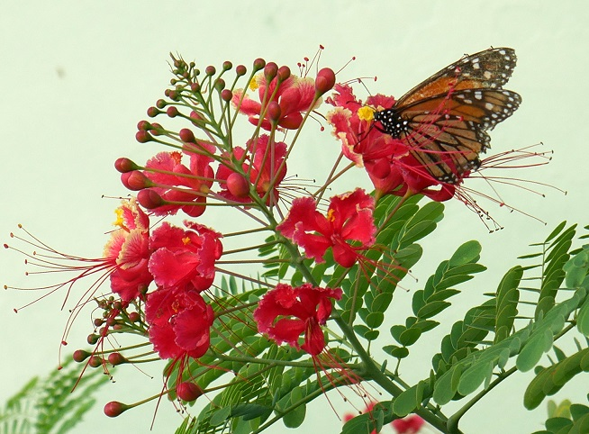 Butterfly on Dwarf Poinciana Flowers - Green Turtle Cay, Abaco, Bahamas