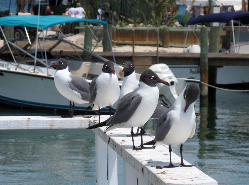 Seagulls on a dock in Settlement Creek - Green Turtle Cay, Bahamas.