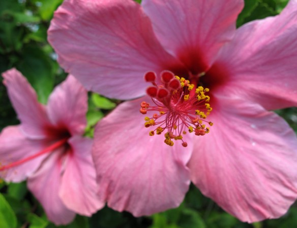 Pink hibiscus - Green Turtle Cay, Abaco, Bahamas.
