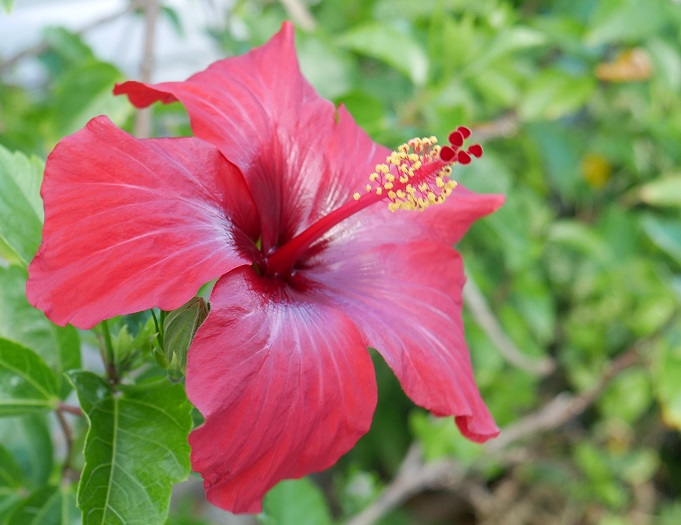 www.LittleHousebytheFerry.com - Daily Photo - Red hibiscus, Green Turtle Cay, Abaco, Bahamas.
