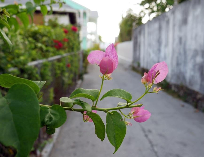 Bougainvillea Blossoms, Green Turtle Cay, Abaco, Bahamas.