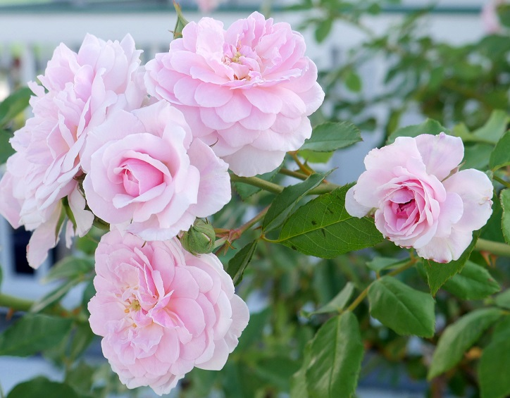 www.LittleHousebytheFerry.com - Daily Photo - Pink Roses in New Plymouth - Green Turtle Cay, Abaco, Bahamas.