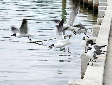 www.LittleHousebytheFerry.com - Daily Photo - Seagulls Take Flight - Green Turtle Cay, Abaco, Bahamas.